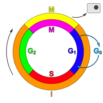 interphase definition biology