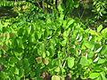 Cercidiphyllum japonicum 03 by Line1.jpg