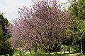 Cercis siliquastrum - Judas tree 10.jpg
