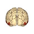 Cerebrum - middle temporal gyrus - posterior.png