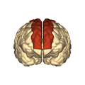 Cerebrum - superior frontal gyrus - anterior view.png