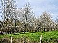 Cerisiers. Région de Fougerolles.jpg