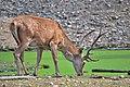 Cervo nobile (Cervus elaphus) - Red deer , Gerenzano, Italia, 08.2018 (25).jpg