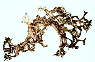 Cetraria - Image: Cetraria arenaria 4