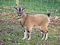 Chèvre naine - Sérent 4.jpg