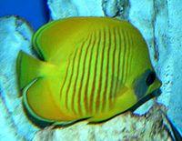 Chaetodon semilarvatus 1