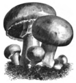 Champignon comestible Vilmorin-Andrieux 1883.png