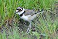 Charadrius vociferus -Sandy Hook, New Jersey, USA -juvenile-8 (1).jpg
