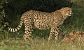 Cheetah, Acinonyx jubatus, at Pilanesberg National Park, Northwest Province, South Africa. (26976115054).jpg
