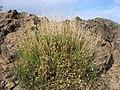 Cheirolophus teydis (Asteraceae).jpg