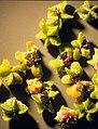 Chenopodium berlandieri (5133106754).jpg