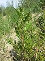 Chenopodium rubrum (s. str.) sl30.jpg
