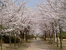 Cherry Blossoms At Postech South Korea