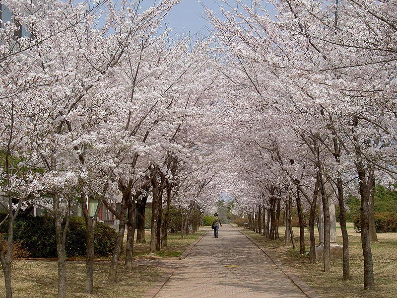 Άνθος κερασιάς που χρονολογείται στην Ασία login