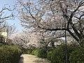 Cherry blossoms in Sasayama Park 11.jpg
