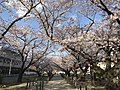 Cherry blossoms near Zasshonokuma Station 20190401-6.jpg