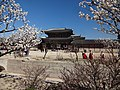 Cherry trees at the Gyeongbokgung Palace with traditional dressed women in the background, Seoul, South Korea.jpg