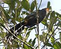 Chestnut-bellied Malkoha (Phaenicophaeus sumatranus) - Flickr - Lip Kee (1).jpg