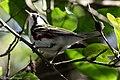 Chestnut-sided Warbler (male) Anahuac NWR-Jackson Prairie Woodlot TX 2018-04-24 16-20-05 (40249938620).jpg
