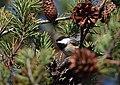 Chickadee (31251127150).jpg