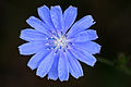 Chicory flower closeup.jpg