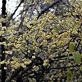 Chimonanthus Praecox, Xi'an city, China.jpg
