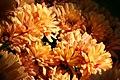 Chrysanthemum Warm Igloo 2zz.jpg