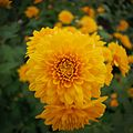 Chrysanthemum at the Phipps Conservatory.jpg