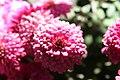Chrysanthemum x Beth 2zz.jpg