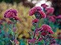 Chrysanthemum x morifolium (China native) Photo F.D.Richards, SE Michigan, 11 2020 (50580762778).jpg