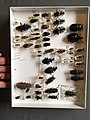 Chrysomelidae collection, Natural History Museum, London 188.jpg