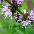 Chrysotoxum bicinctum. - Flickr - gailhampshire.jpg