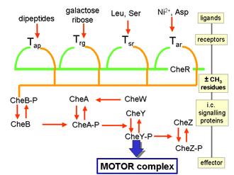 Chemotaxis - Image: Chtxbactsign 1