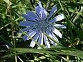 Cichorium-intybus-blomst.JPG