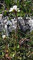 CilSaxifragaceae.jpg