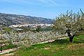 Cirerers amb Alpatró al fons.JPG