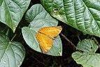 Cirrochroa thais 6723.jpg