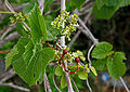 Cissus woodrowii (Woodrow's Grape Tree) in Keesaraguda, AP W IMG 9152.jpg
