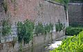 Citadelle de Lille 2013 plantes muricoles stade pionnier 04.JPG