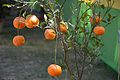 Citrus sinensis - Alipore - Kolkata 2013-02-10 4593.JPG