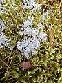 Cladonia arbuscula 90126976.jpg