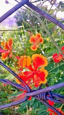 Caesalpinia pulcherrima wikipedia la enciclopedia libre - Caesalpinia gilliesii cultivo ...
