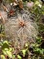 Clematis ligusticifolia fruits-8-27-04.jpg