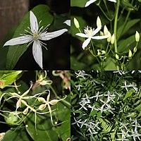 Clematis terniflora (Montage).jpg