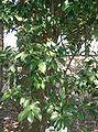 Cleyera japonica2.jpg