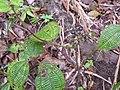 Clidemia hirta-3-braemore-kerala-India.jpg