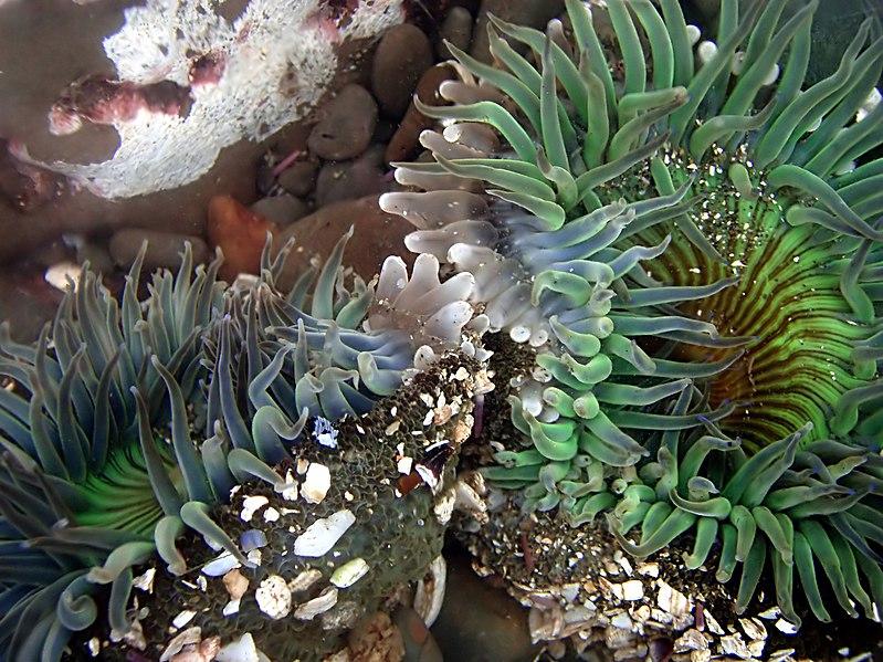 File:Clone war of sea anemones 2-17-08-2 edit1.jpg