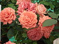 Cluster flowered rose from Lalbagh flower show Aug 2013 8487.JPG