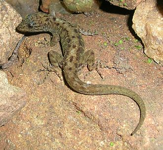 Cnemaspis - Cnemaspis gecko from the Western Ghats