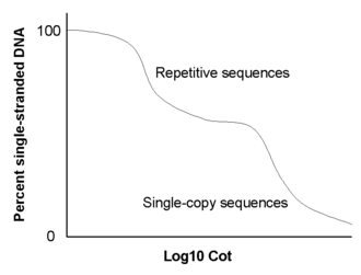 Cot analysis - Repetitive DNA sequences renature at lower C0t values than single-copy sequences.